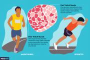 انواع تارهای عضلانی در انسان